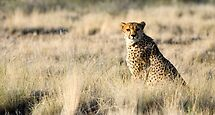 Purrrrfect Kitty - Namibia Africa by Beth  Wode