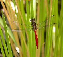 Dragonfly on a Japanese Iris in my pond, Tumut, Australia. by kaysharp