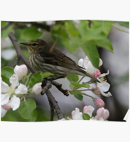 Cape May Warbler Poster