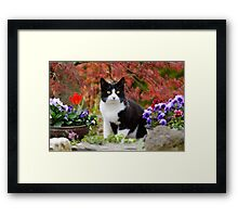 Tuxedo cat in front of a Japanese Maple Framed Print
