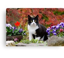 Tuxedo cat in front of a Japanese Maple Canvas Print