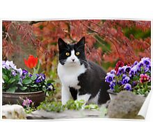 Tuxedo cat in front of a Japanese Maple Poster
