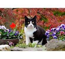 Tuxedo cat in front of a Japanese Maple Photographic Print