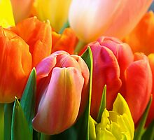 Toujours Tulipes by AndreaFettweis