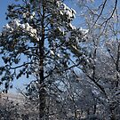 Snowy Pine by ericb