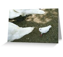 little white dove follows swans Greeting Card