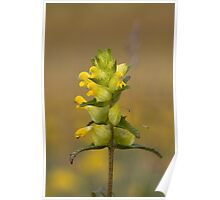 Yellow rattle Poster