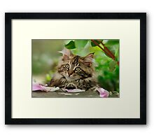 A cutie Maine Coon kitten watching Framed Print