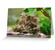 A cutie Maine Coon kitten watching Greeting Card