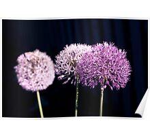 Three Allium Flowers Poster