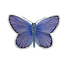 Karner Blue Butterfly by Tamara Clark