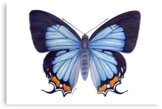 Imperial Blue Butterfly by Tamara Clark