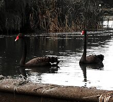 The Black Swan by Selene Samuelsson