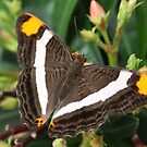 Mexican Sister - Adelpha fessonia by Lepidoptera