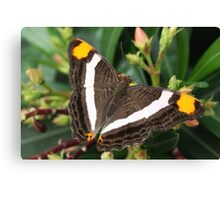 Mexican Sister - Adelpha fessonia Canvas Print