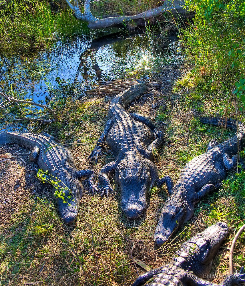 Florida Gators by Bill Wetmore