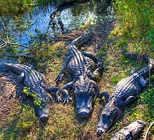 Florida Gators by njordphoto