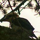 baby kookaburra by Peta Hurley-Hill