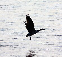 Canadian Goose Landing by Alyce Taylor
