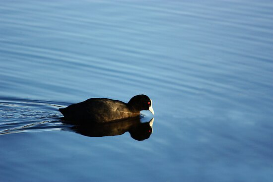 Coot Reflections by byronbackyard