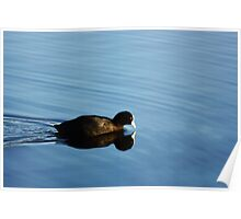 Coot Reflections Poster