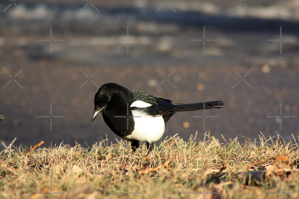 Magpie by Alyce Taylor