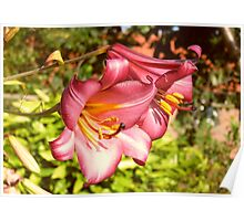 Two Beautiful Red Lilies Poster