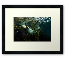 Fur Seals Framed Print
