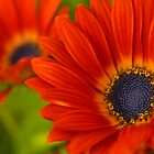 Photo of bright red daisy by pulen