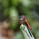 Red Dragonfly No. 1 by DanikaL