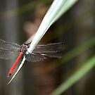 Red Dragonfly No. 3 by DanikaL