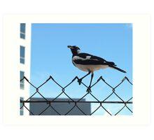 Peewee Magpie Darwin City Art Print
