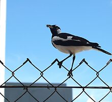 Peewee Magpie Darwin City by jembot