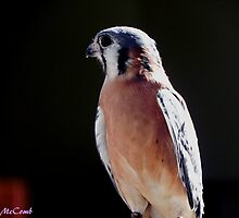 American Kestrel by © Loree McComb