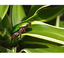 Green Christmas beetle Photographic Print