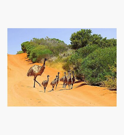 Emu Family  Photographic Print