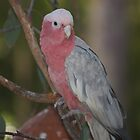 Kelmscott Galah by purpleneil59