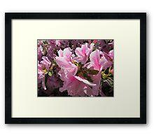 Pretty Pink Azalea Blossoms Framed Print