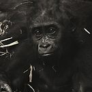 West Lowland Gorilla Baby by Franco De Luca Calce