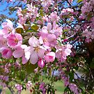 CRABAPPLE BLOSSOMS, 2015 (2) by goddarb