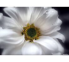 Tears On My Pillow.............Gerbera Photographic Print
