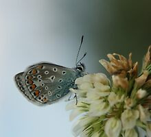 Common Blue by Lindie Allen