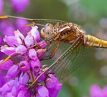 Darter by Neil Bygrave (NATURELENS)