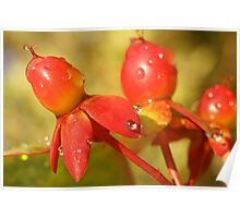 Red berries after rain Poster
