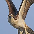 Osprey Flight!! by jozi1
