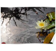 Water Lily and Reflections Poster