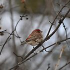 house finch by blehst