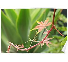 Virginia Creeper in front of Agave Poster