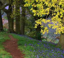 Bluebell woods at Dusk by LisaRoberts