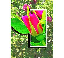 Rose Bud, Don't Fence Me In Photographic Print
